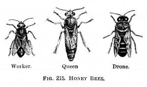 ape-insetto