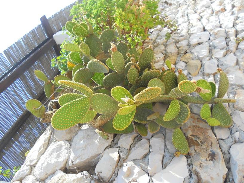 cactus-croazia